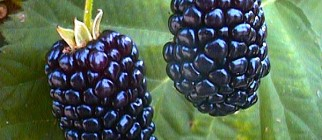 blackberry-fruit