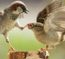 Birds-Fighting-1