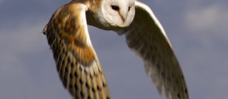 barn-owl-in-flight-small