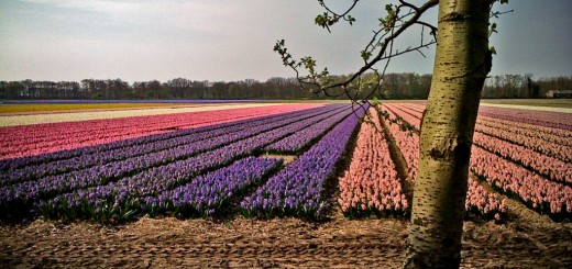 iphone-tulip-fields-2lg-1024x675