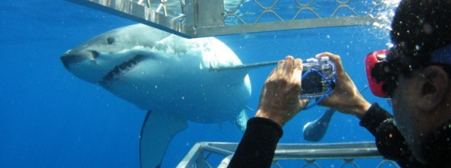 great-white-shark-cage-diving7