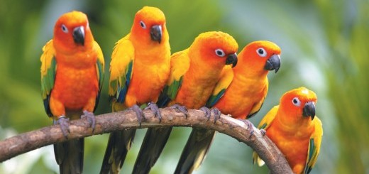 birds_of_paradise_and_ming_beauty-520x346