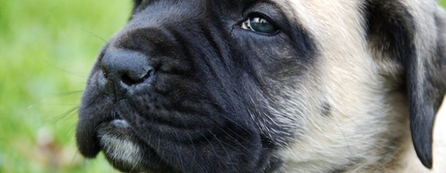 English Mastiff Puppy