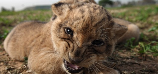 One Month Old Lion Cubs Take Their First Outing