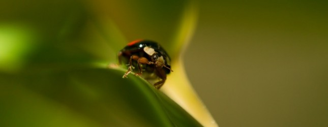 Chines Ladybug walking on Bamboo Leaves
