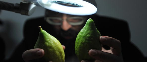An Ultra Orthodox Jewish man inspect citrons