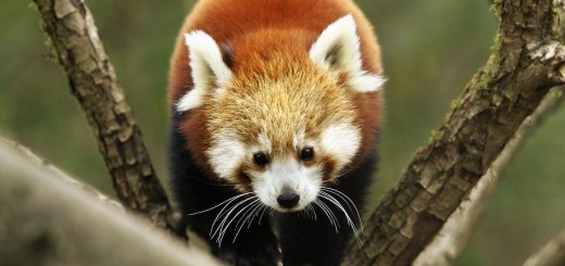 A Red Panda (Ailurus fulgens) climbs on